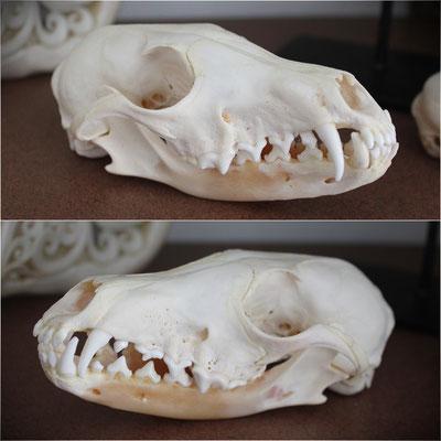 Cráneo Zorro Gris - Gray Fox Skull (Oddities - Rarezas)