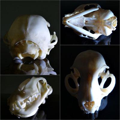Cráneo de gato (Original) - Oddities