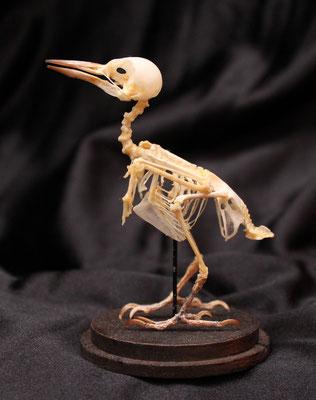 Esqueleto de pájaro ( Dinopium javanense ) Bird skeleton