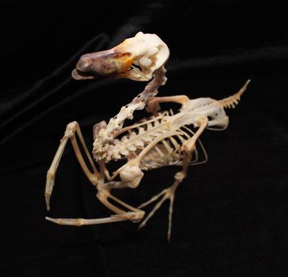 Esqueleto de Pato (ANAS PLATYRHYNCHOS) Duck Skeleton
