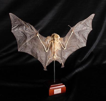 Murciélago (Cynopterus) Bat