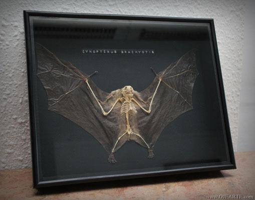 CYNOPTERUS BRACHYOTIS enmarcado / framed (Oddities)