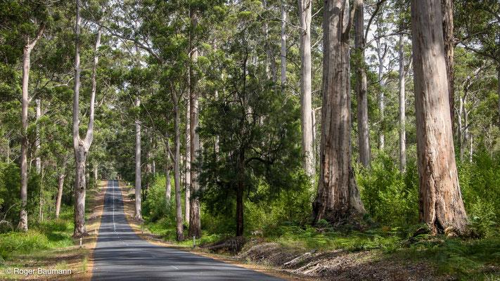 Karri-Wälder, Western Australia