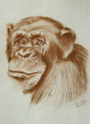 Drawing a chimp