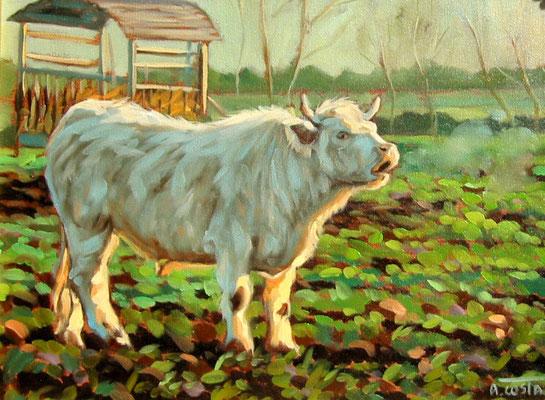 Bull in the morning