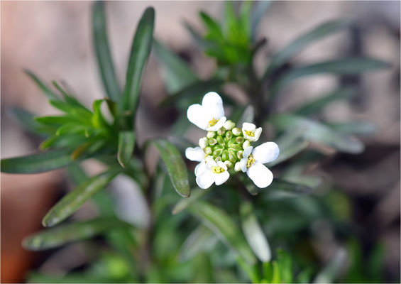 schleifenblume (iberis)