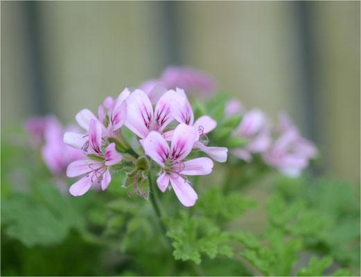 geranium.