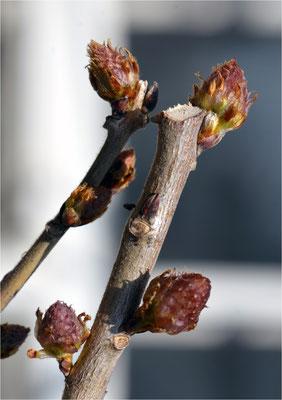 glyzinien (wisteria)