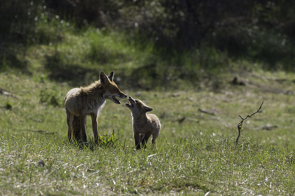 Vos met vosje, Red Fox with young one