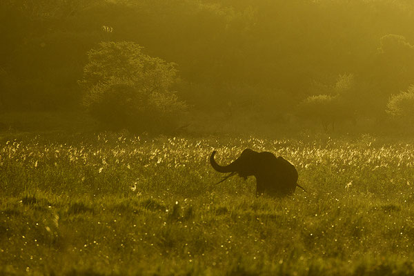 Olifant in avondlicht, Elephant in evening sun