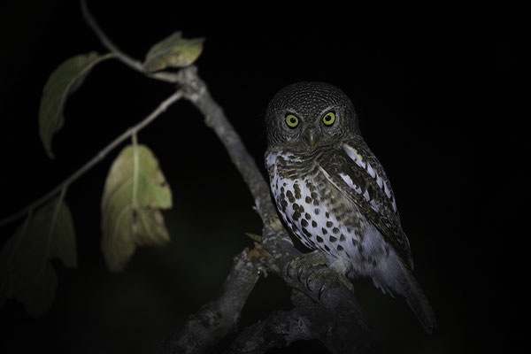 Barred Spooted Owlet