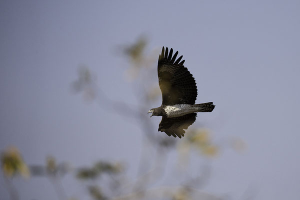 Martial Eagle in flight calls to warn for Leopard