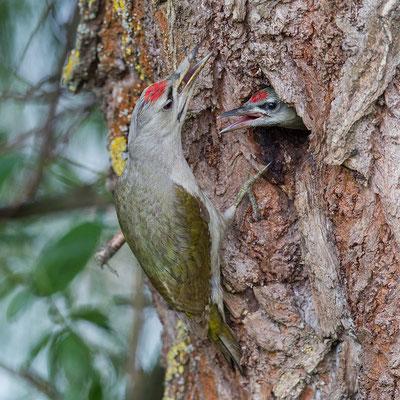 Grijskopspecht, Grey Headed Woodpecker