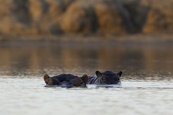 Nijlpaarden, Hippo's