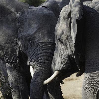 Olifanten met koppen tegen elkaar, Elephants head on