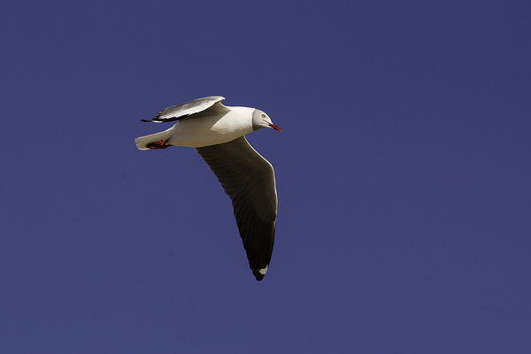 Grijskopmeeuw, Grey-headed Gull