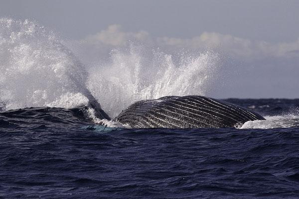 Landende Bultrug, Humpback Whale landing