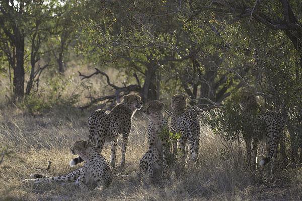 Vijf Jachtluipaarden, Five Cheetahs