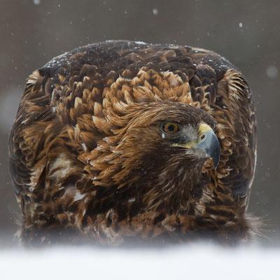 Steenarend, Golden Eagle