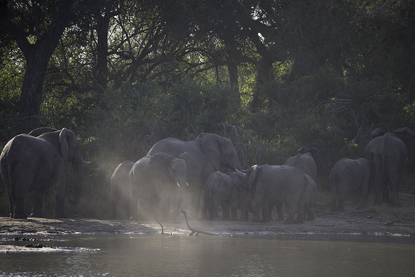 Olifanten schieten te hulp, Elephants rush to support young one