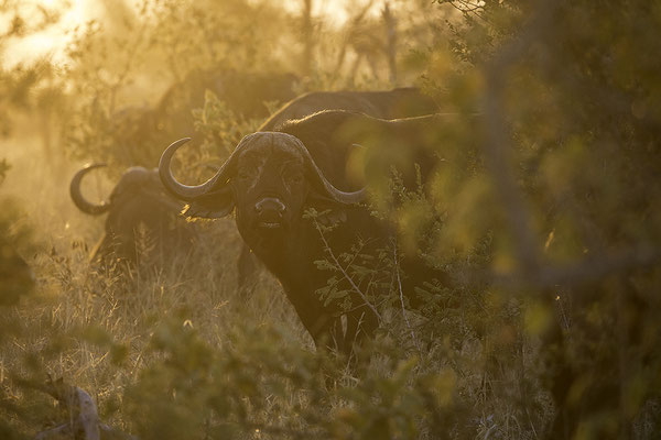 Buffel in tegenlicht, Buffalo back lit