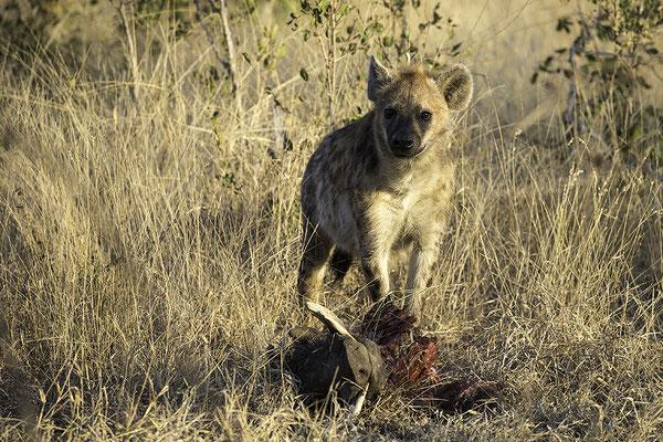 Hyena met gestolen Warthog, Hyena with stolen Warthog