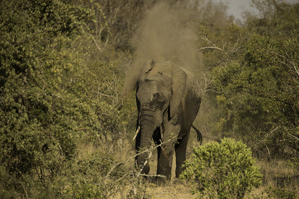 Olifant neemt stofbad, Elephant taking dust bath