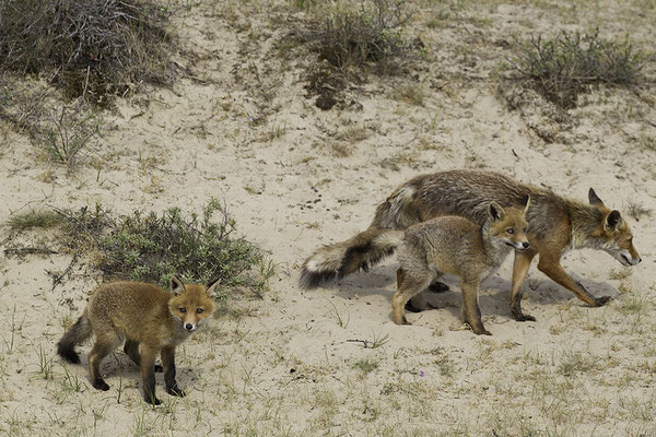 Vos met Welpjes van Vos, Red Fox with Young Foxes