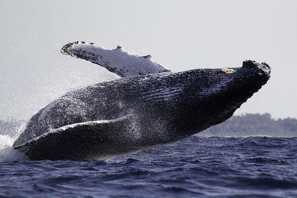 Springende Bultrug, Jumping Humpback Whale