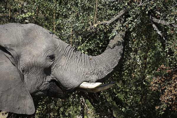 Olifant eet, Elephant eating