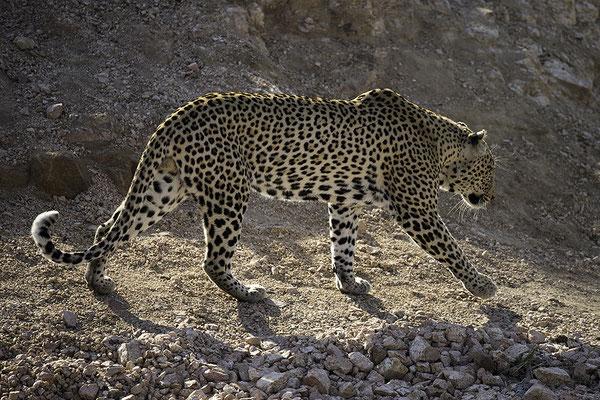 Luipaard op stap, Walking Leopard