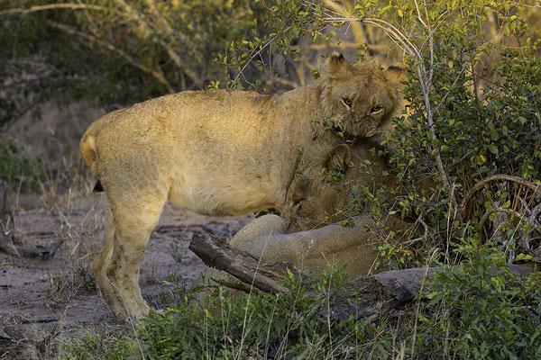 Jonge Leeuw wil spelen met zijn vader