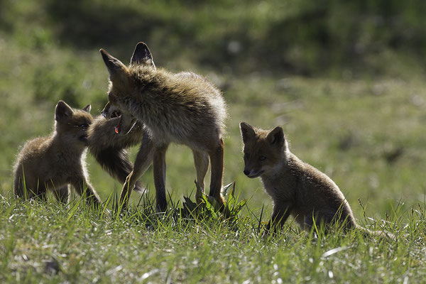 Vos met vosjes, Red Fox with young ones
