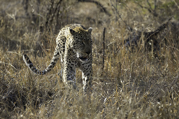 Luipaard, Leopard on the move
