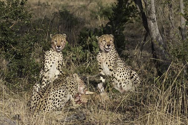 Jachtluipaarden met prooi, Cheetahs with prey