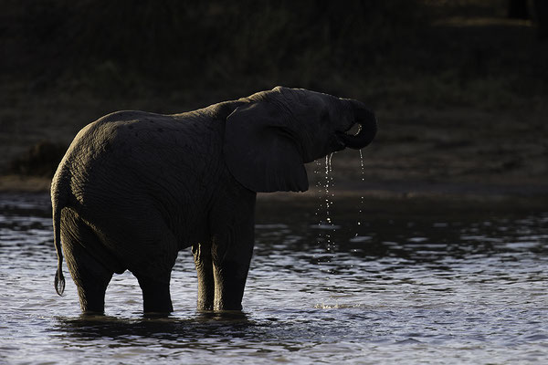 Jong Olifantje drinkt, Young elephant drinking