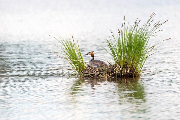 Haubentaucher auf seinem Nest / Deutschland (Bildnummer 2686)