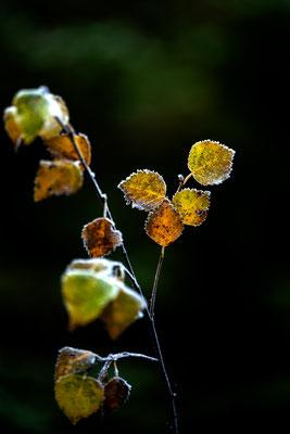 Birkenlaub im Herbst
