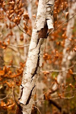 Birken im Herbst im Murnauer Moos / Deutschland (Bildnummer 7019)