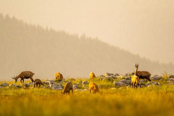 Kleine Herde im Abendlicht