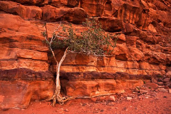 Wüstenbaum im Wadi Rum / Jordanien (Bildnummer 01010_2725)