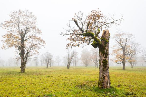 Alter Ahornbaum / Österreich (Bildnummer 8518)