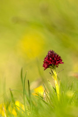 Schwarze Vanille Orchidee, Karwendel / Tirol (Bildnummer 8504573)