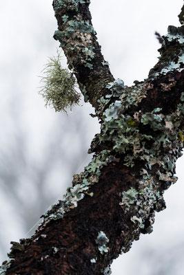 Flechten auf Obstbaum / Deutschland (Bildnummer 9441)