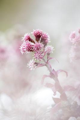 Blüten der gewöhnlichen Pestwurz (Bildnummer 2380)