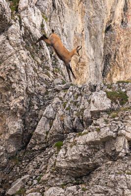 Gams springt im Karwendel an der Linderspitze/ Deutschland (Bildnummer 2835)