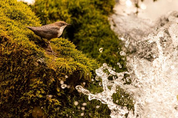 Wasseramsel an der Isar, Karwendel / Österreich (Bildnummer 9608)