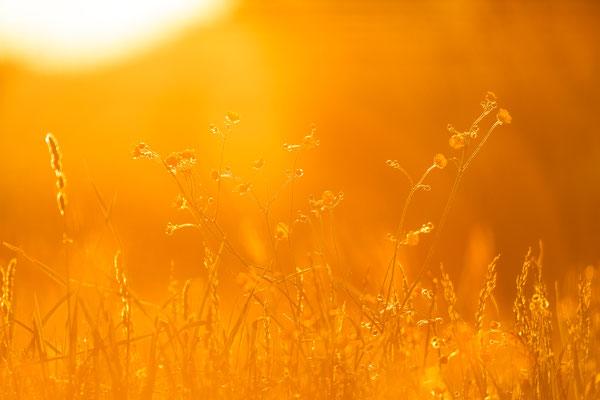 Sommerwiese im Gegenlicht der Sonne / Deutschland (Bildnummer 18_2459)