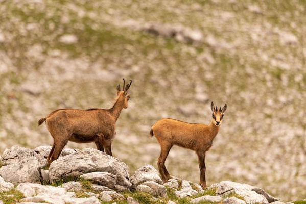 Gams mit Jungtier im Karwendel / Österreich (Bildnummer 0361)