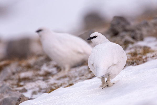 Schneehühner im Karwendel / Deutschland (Bildnummer 5147)